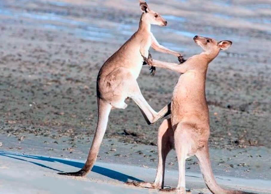Пара кенгуру рыжих