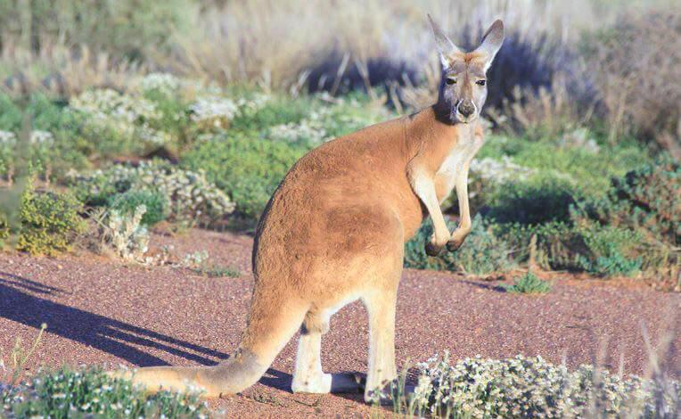 Настороженный кенгуру рыжий