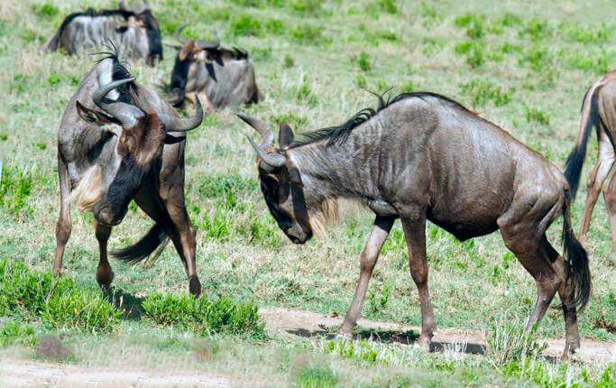 Конфликт самцов антилопы гну