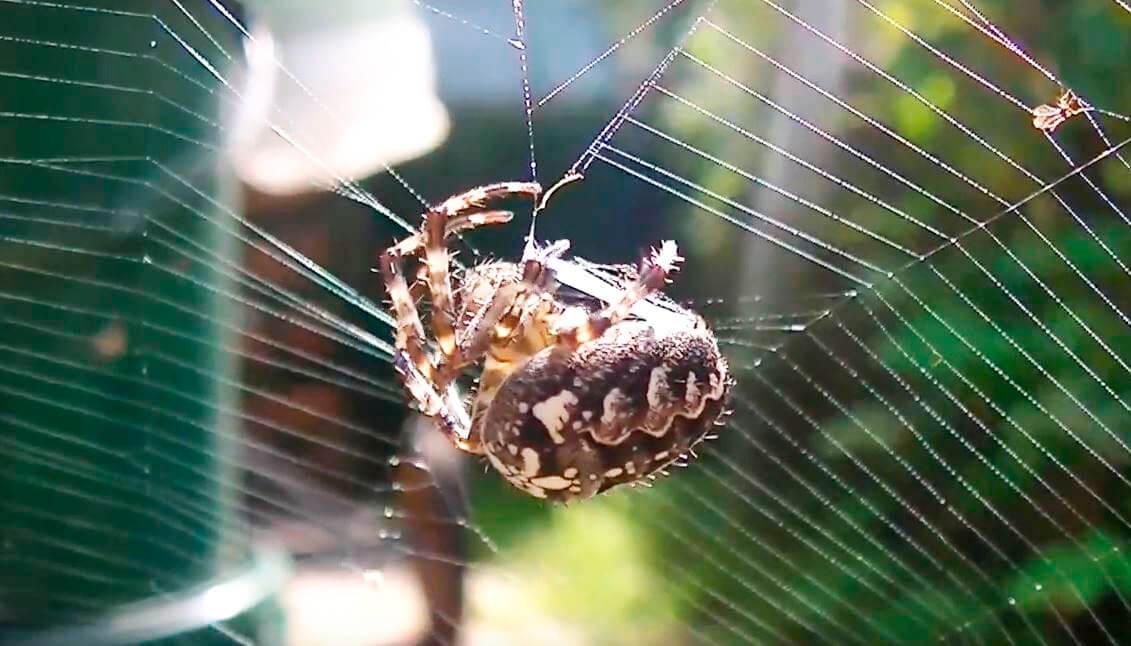 Araneus diadematus плетёт сеть
