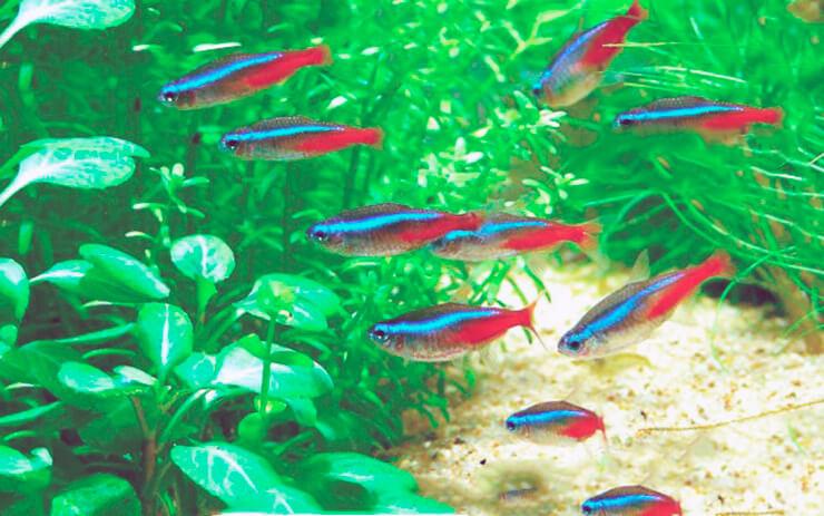 Стайка неонов-тетра в аквариуме