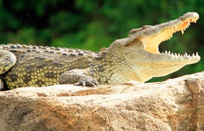 nilskiy krokodil Нильский крокодил