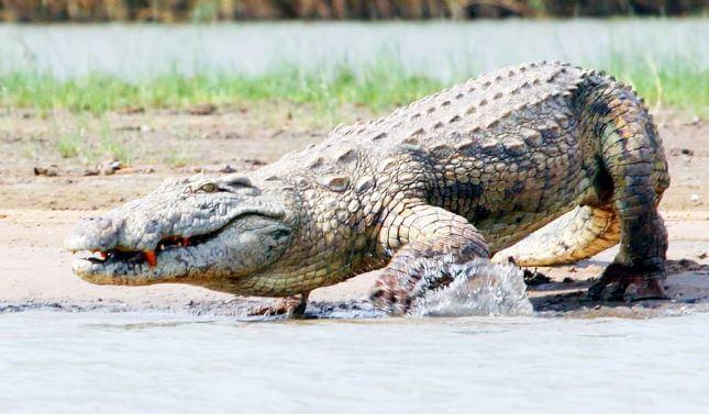 Картинка с нильским крокодилом