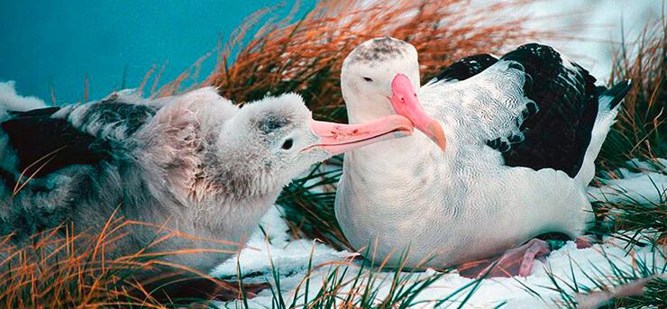 Альбатрос странствующий кормит птенца