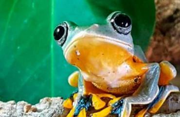 Яванская веслоногая лягушка