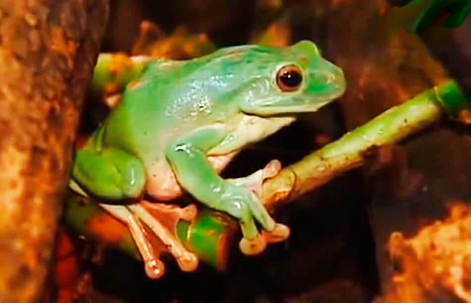 Картинка с яванской веслоногой лягушкой