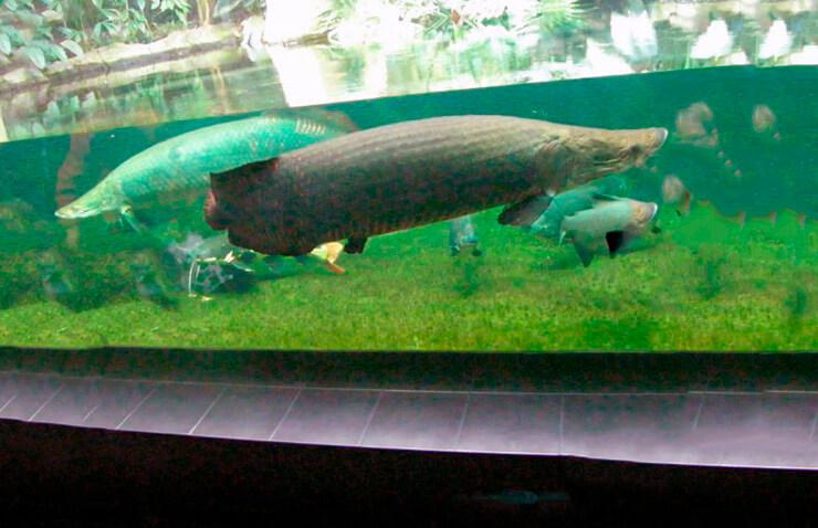 Аквариум с арапаймой гигантской