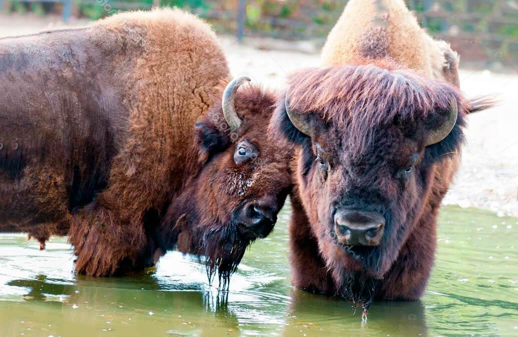 Бизоны на водопое
