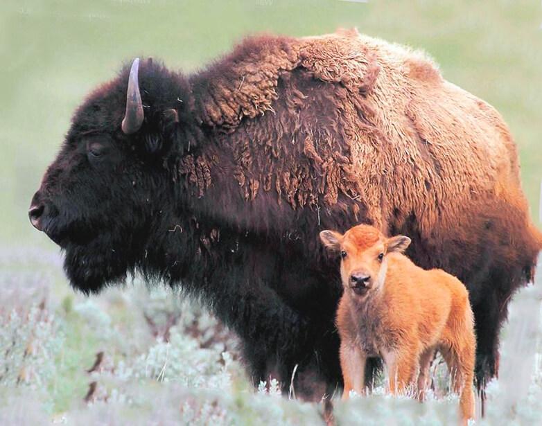 Самка бизона с телёнком