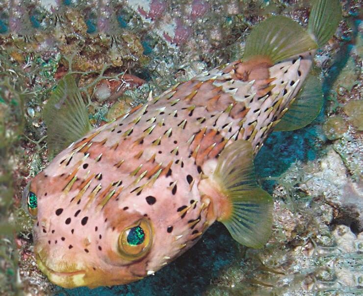 Длинноиглая рыба-еж фото