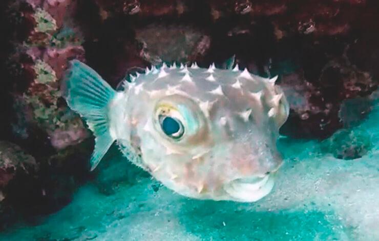 Длинноиглая рыба-еж в аквариуме