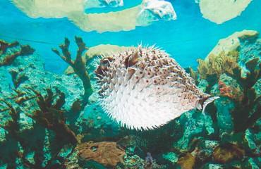 Длинноиглая рыба-еж