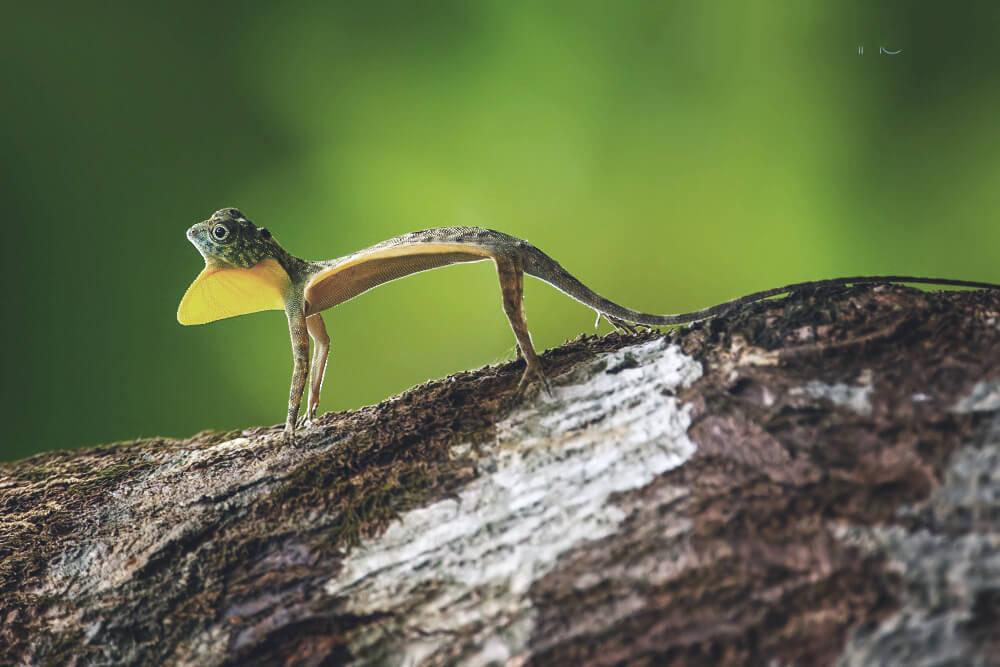 Дракон летучий обыкновенный фото