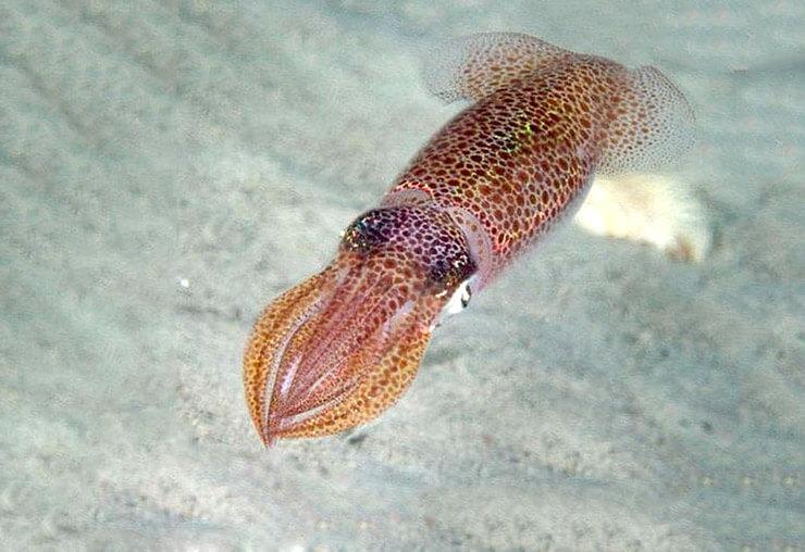 Картинка с обыкновенным кальмаром