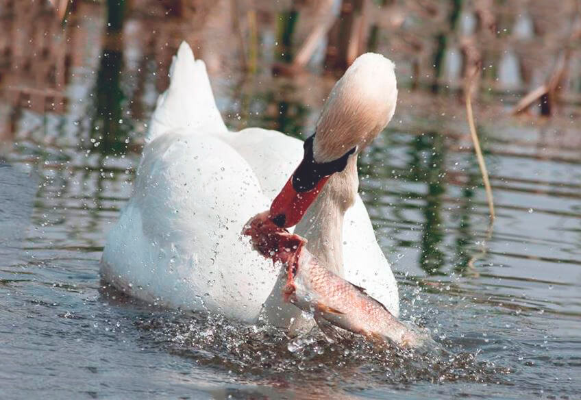 Добыча лебедя-шипуна