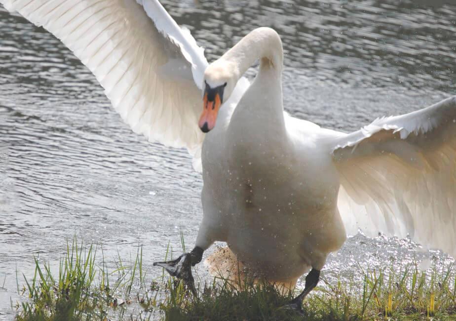 Приземление лебедя-шипуна