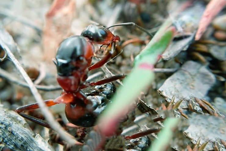 Фото рыжего лесного муравья