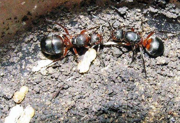 Ухаживание за личинками муравьям лесными рыжими