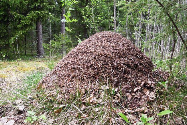 Муравейник построенный муравьями лесными рыжими