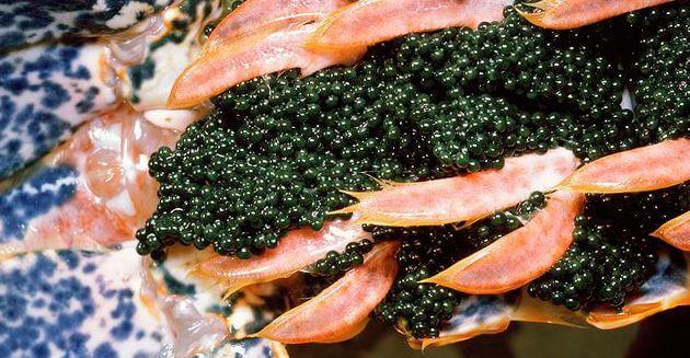 Икринки Тайная норка омара европейского