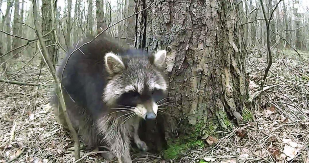 Прогулка по лесу енота полоскуна