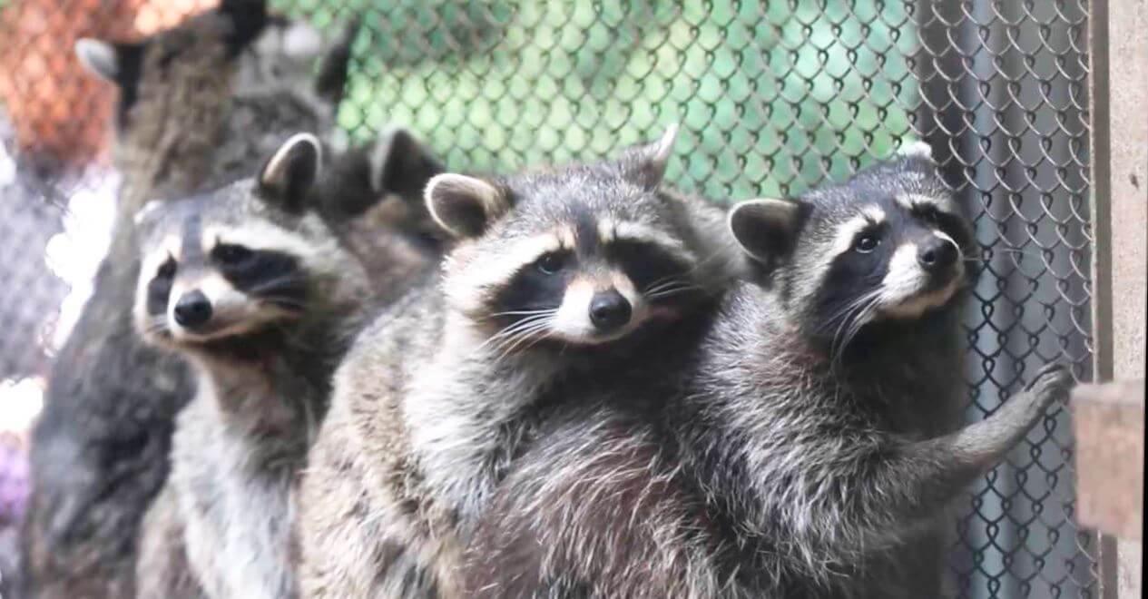 Группа енотов полоскунов