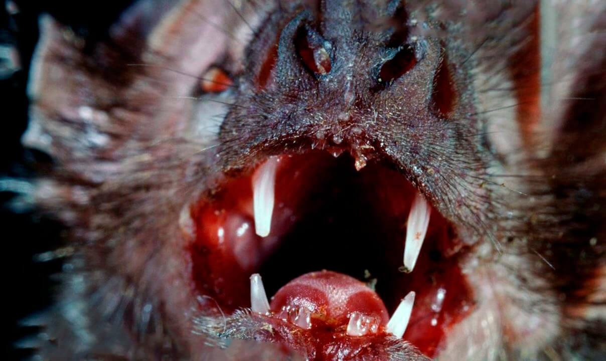 Зубы вампира обыкновенного