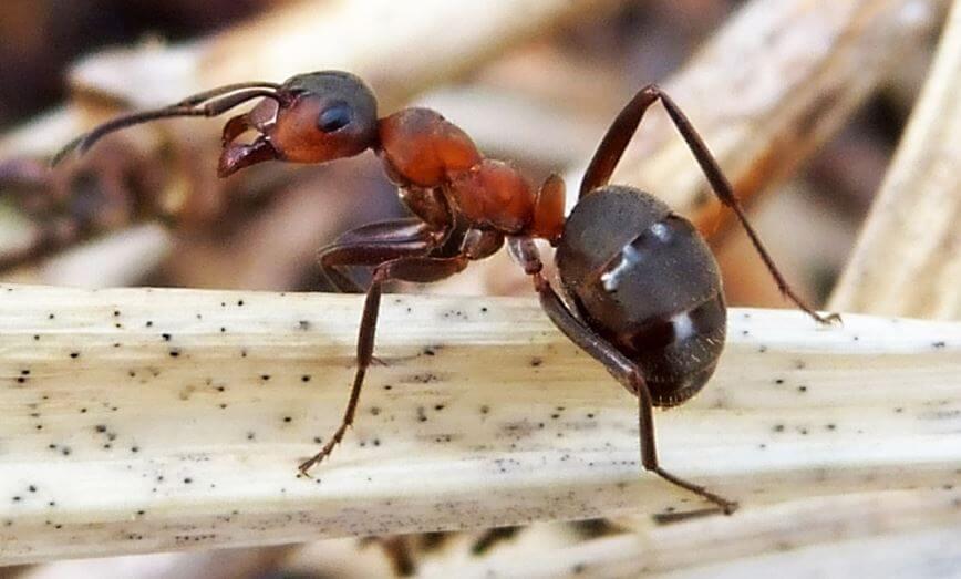 Картинка с муравьём лесным рыжим
