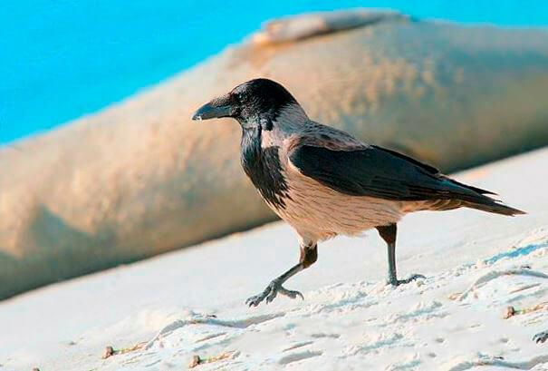 Ворона серая на прогулке