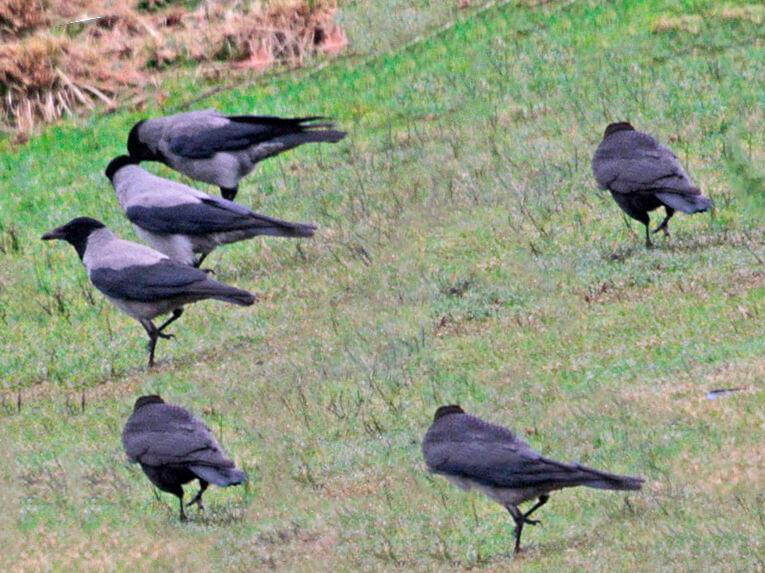 Стайка ворон серых щиплет траву