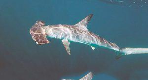 Фото акулы-молот обыкновенной
