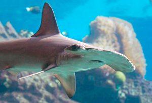 Акула-молот обыкновенная фото