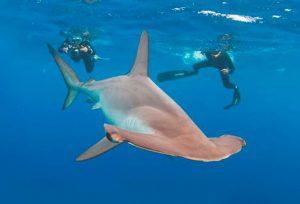 Аквалангисты с акулой-молот обыкновенной