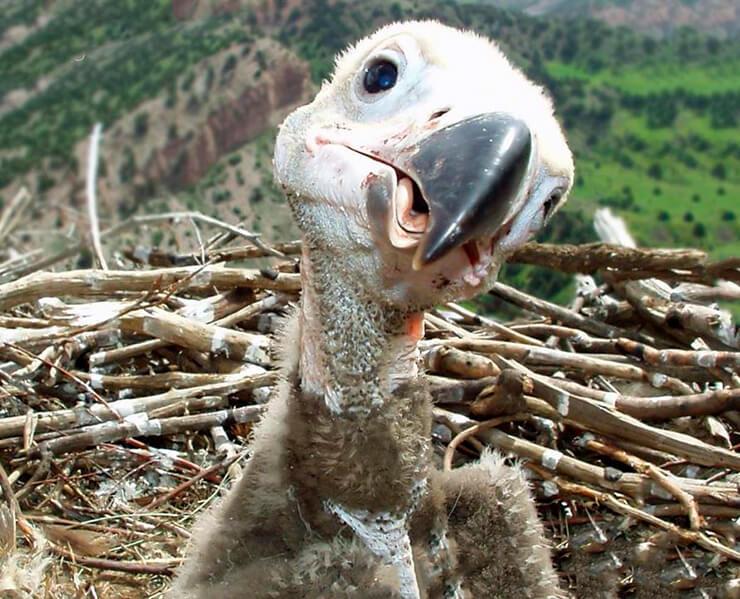 Птенец бурого грифа