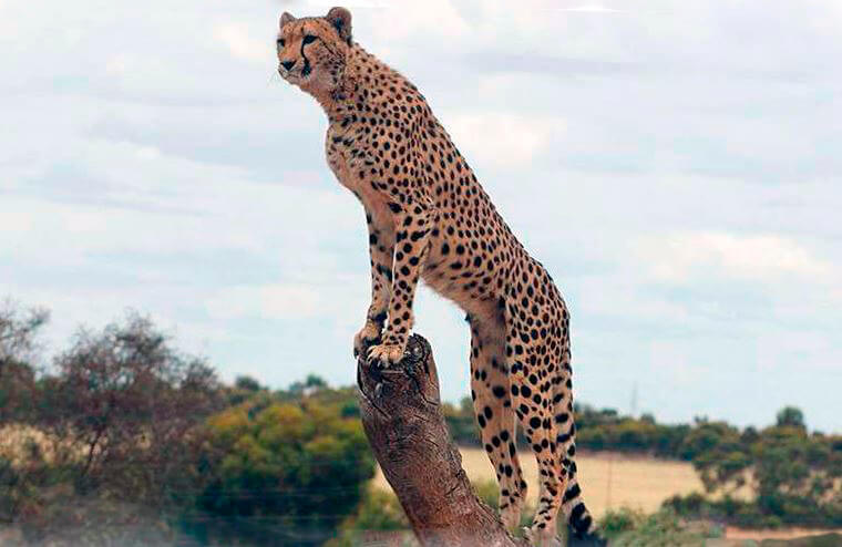 Осмотр территории гепардом
