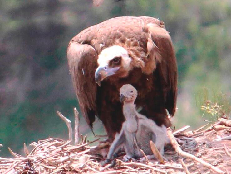 Гнездо бурого грифа
