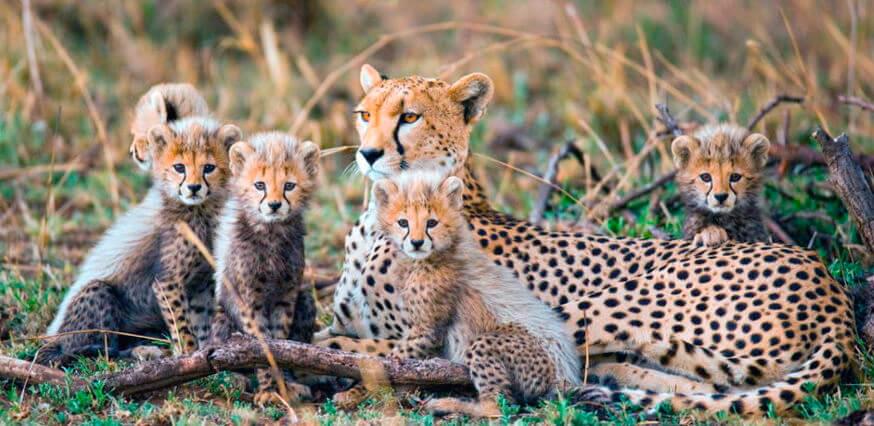 Самка гепарда с детёнышами