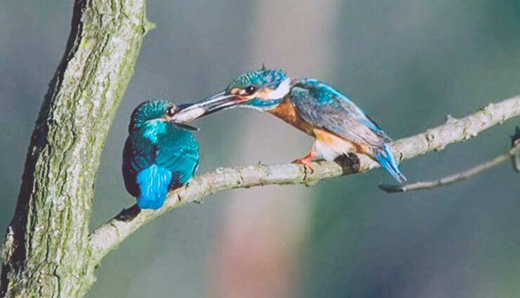 Зимородок обыкновенный кормит птенца