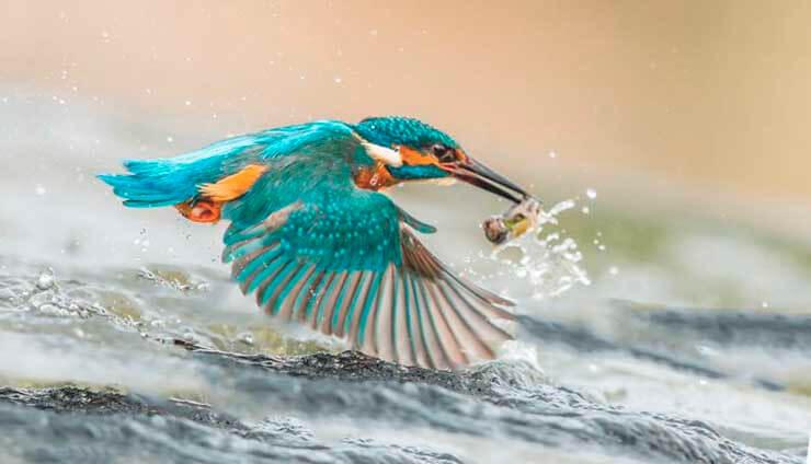 Охота зимородка обыкновенного