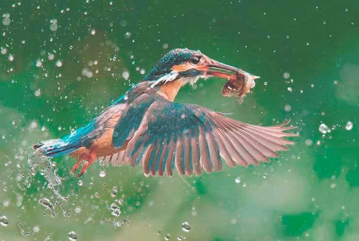 Зимородок обыкновенный фото