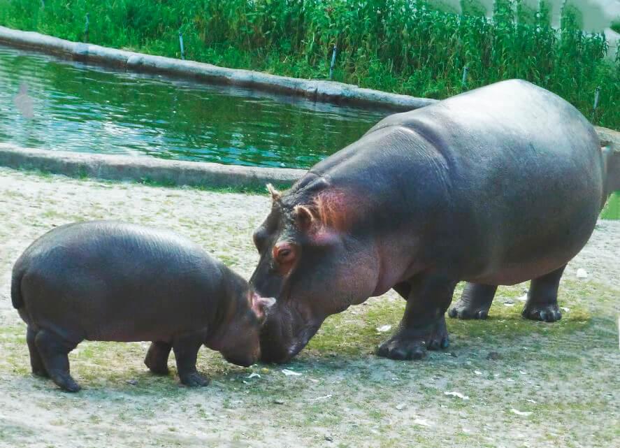 Самка гиппопотама с детёнышем