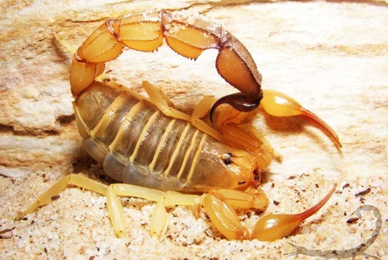 внешний вид жёлтого скорпиона