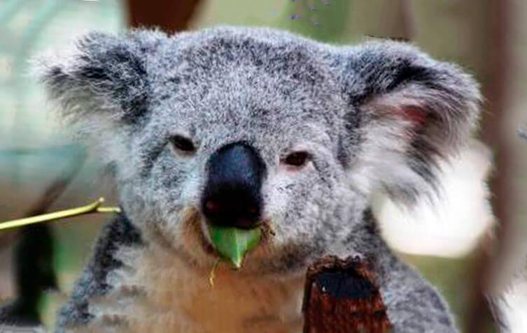 Жующий коала