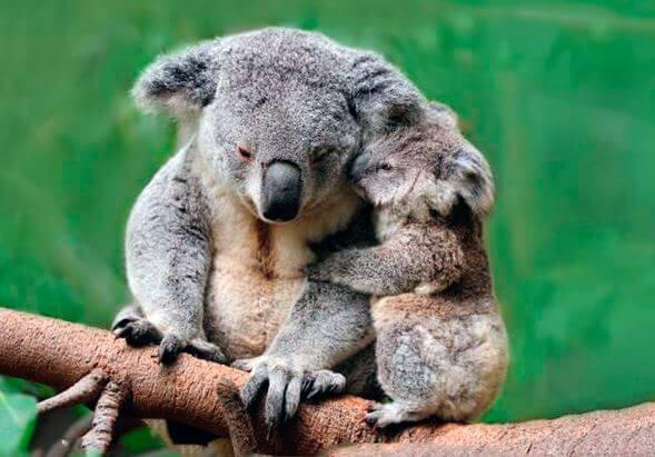 Самка коалы с детёнышем