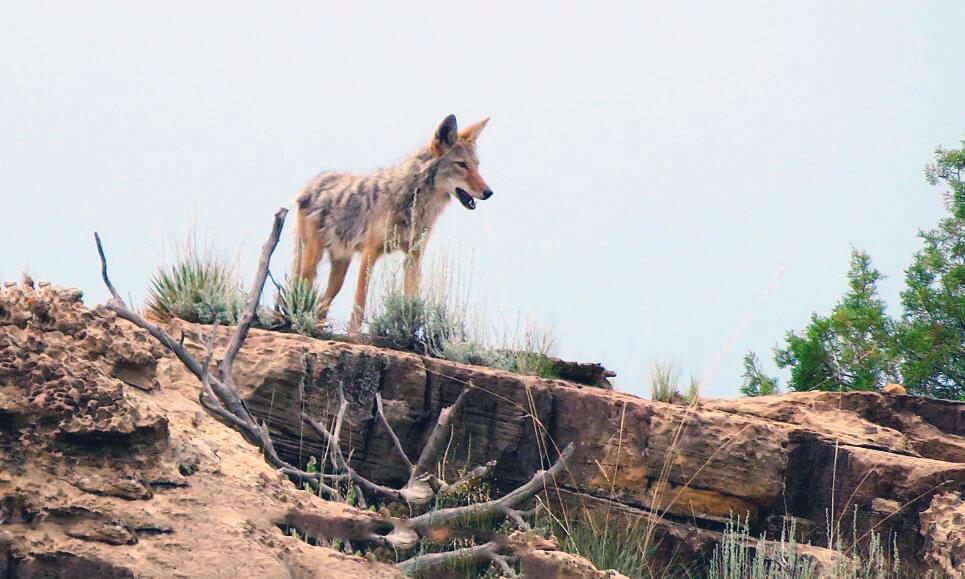Охота койота