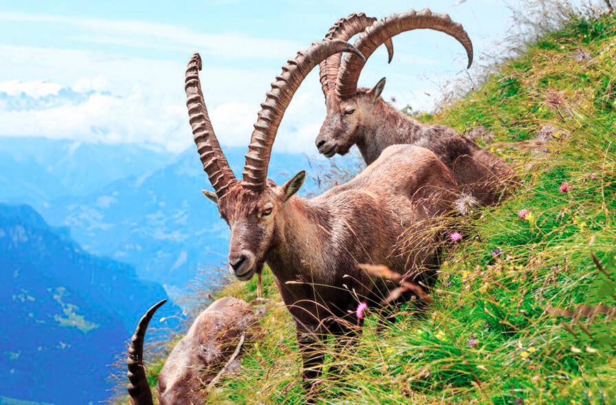 Альпийский козелна пастбище