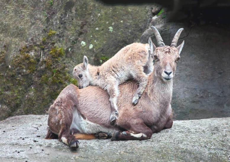 Самка Козерог, или альпийского козла с детёнышем
