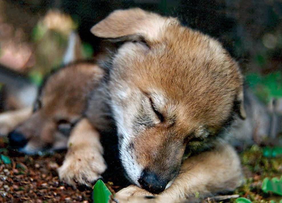 Спящий маленький койот