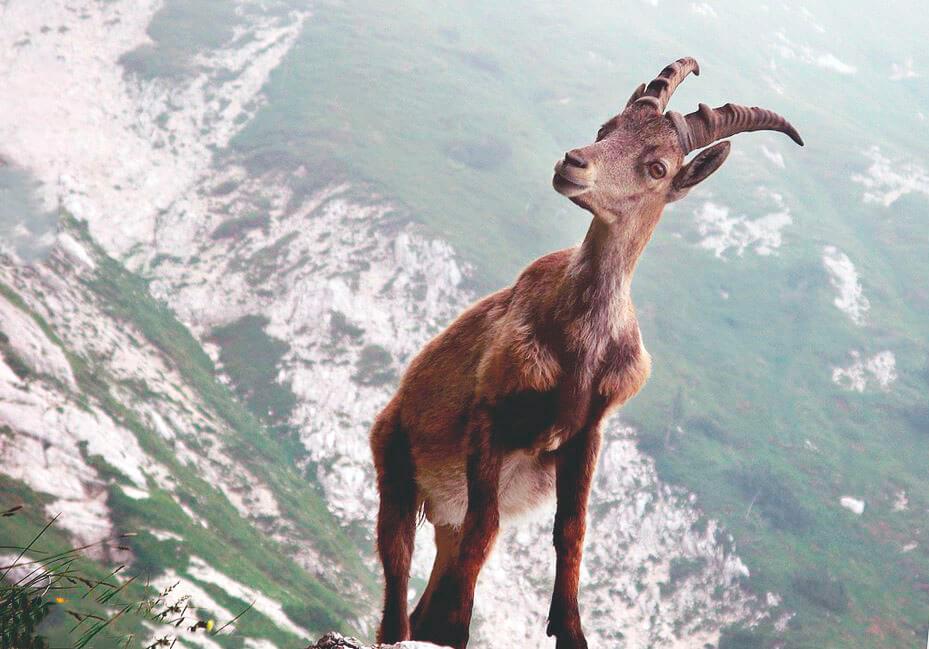 Мархур на скале