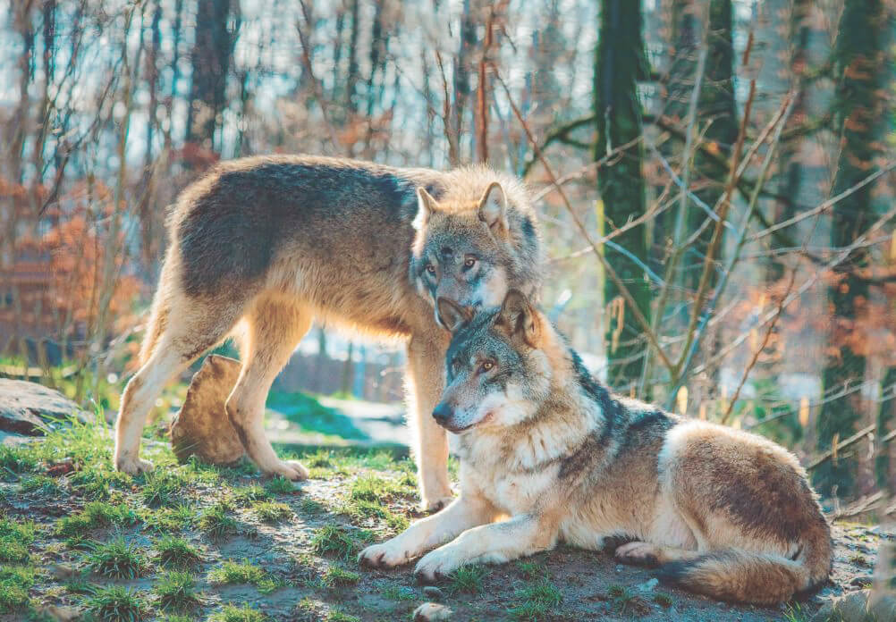 Пара койотов